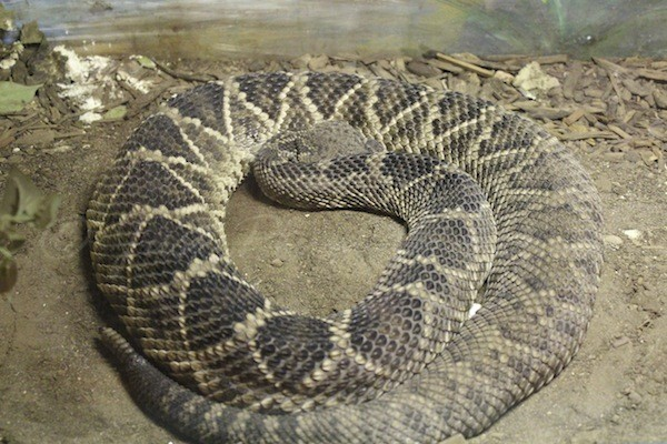 The Rattlesnake Museum hosts more different rattlesnakes than the Bronx Zoo, the Philadelphia Zoo, the National Zoo, and the San Diego Zoo, all combined!