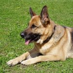 German Shepherds: The Right Choice For Your First Dog?